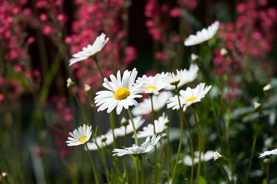 Prästkrage   (Leucanthemum vulgaris)