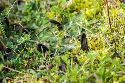 Svart jordtunga   (Geoglossum  umbratile)