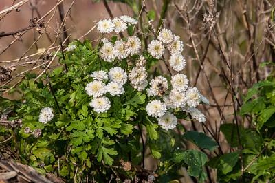 Mattram   (Tanacetum parhenium)