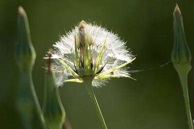 Ängshaverrot   (Tragopogon pratensis)