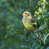 Yellowhammer - Gulspurv