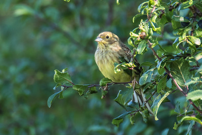 Yellowhammer ~ Gulspurv