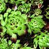 Succulents in Brigitta's garden