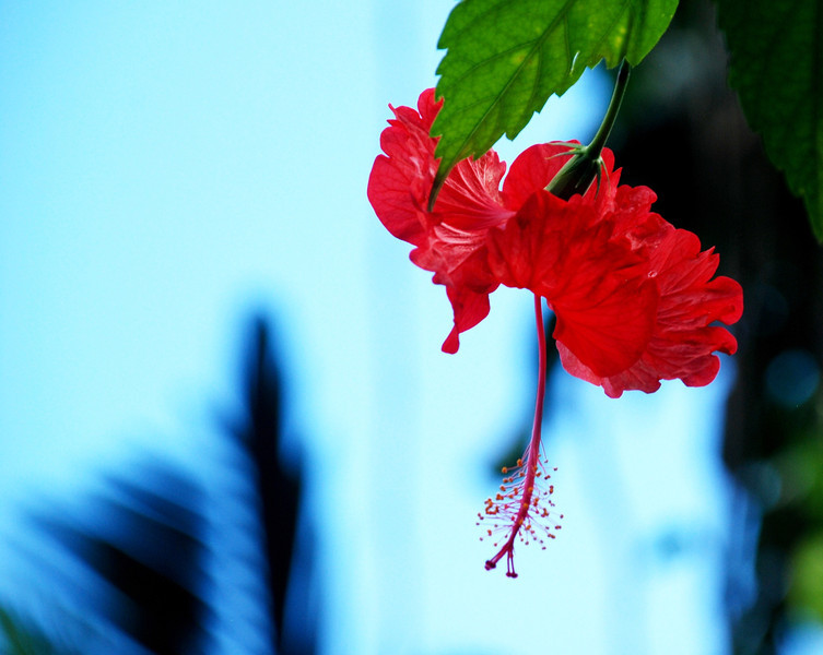 Red - You can't be in Jamaica and not have a picture of a hibiscus!
