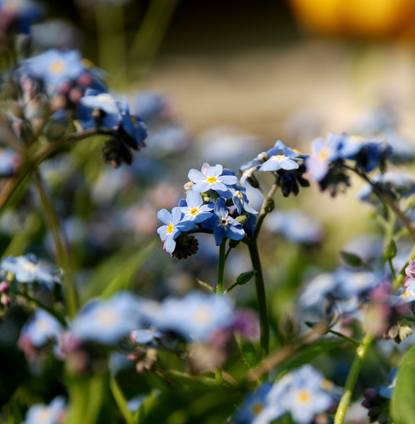 It is spring - the Forget-me-nots are out!