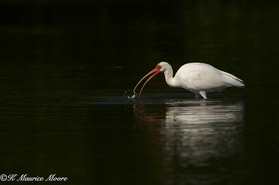White Ibis, Little Estero Lagoon, Fort Myers Beach, Fl