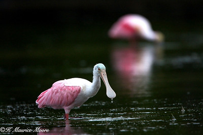 Roseate Spoonbill, Little Estero Lagoon, Fort Myers Beach, Fl
