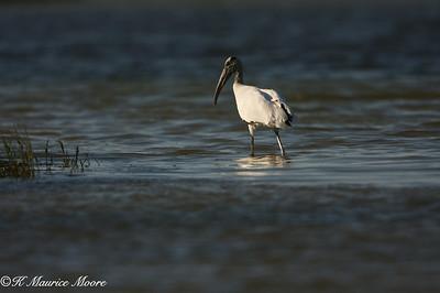 Wood Stork, Fort De Soto county park, Tierra Verde, Fl