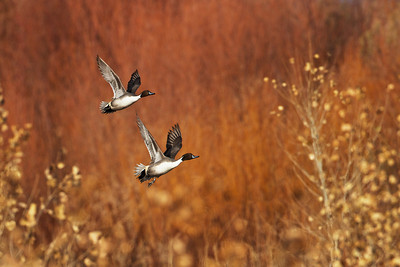 Pintail ducks, Bosque Del Apache NWR, NM