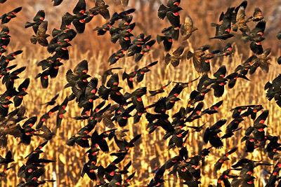 A flock of Redwinged Blackbirds, Bosque Del Apache NWR, NM