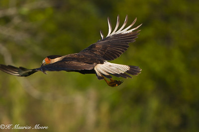 Crested Caracara, Canoe Creek Rd area, Fl