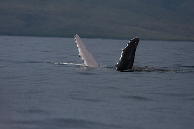 Day one on Maui was spent whale watching. Great way to kickoff the week.