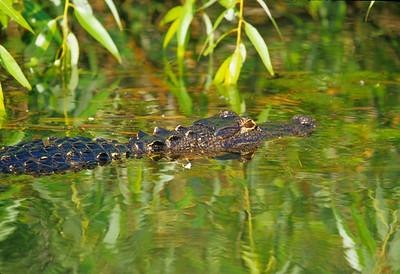 Alligator Okefenokee Swamp