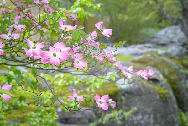 Pink Dogwood - Rock City