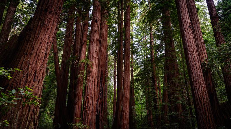 Coast Redwoods - Muir Woods