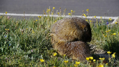 VIDEO: Marmot in Rocky Mountain National Park - along the Trail Ridge Rd