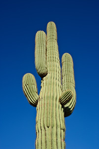 A saguaro cactus in the Sonoran Desert.  Arizona, USA.