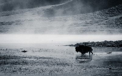 Bison crossing the water in Hayden Valley - Yellowstone National Park