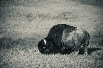A massive bison grazing in Yellowstone