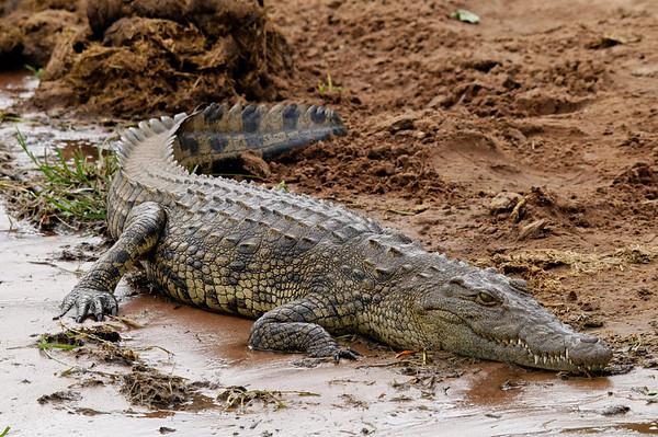 small crocodile, Chobe river cruise, Botswana