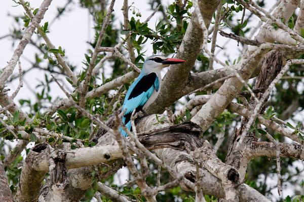 Woodland Kingfisher (Halcyon senegalensis),Thornybush, S. Africa