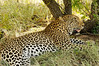 Leopard, Thornybush, S. Africa, GPS appx