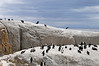 The Boulders, Jackass Penguins, S. Africa