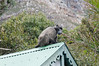 baboon came for lunch, the Black Marlin, S. Africa