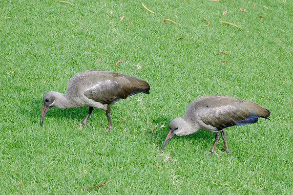 Hadeda Ibis, Mount Nelson Hotel, Cape Town, S. Africa