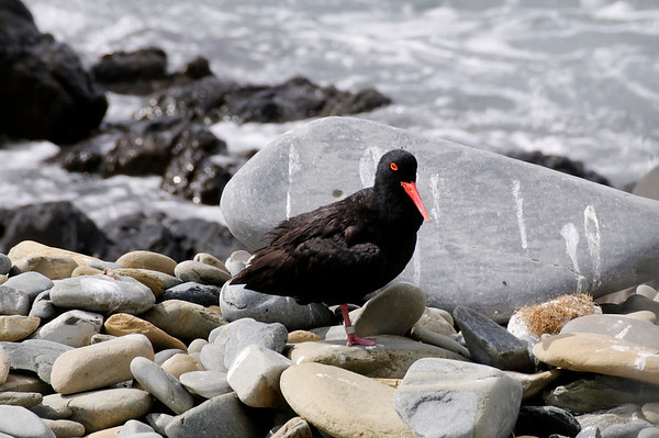Oystercatcher, Robben Island, South Africa