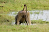 wrong end of a Chacma Baboon, Chobe National Park, Botswana, GPS