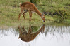 Puku, Chobe National Park, Botswana, GPS appx