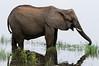 ill female elephnat, Chobe National Park, Botswana