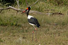 Saddlebilled Stork, Thornybush, S. Africa, GPS appx