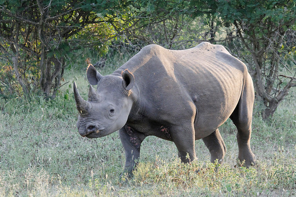Black Rhino moves Cheetah away