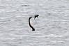 Anhinga (Snake bird), Chobe river cruise, Botswana