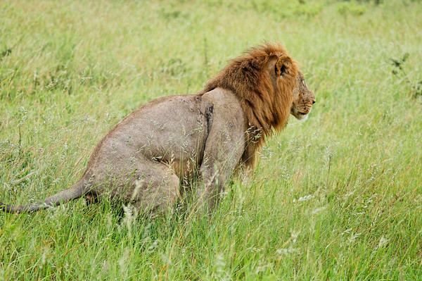 the king pauses, Chobe National Park, Botswana