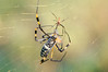 golden silk orb-weavers (genus Nephila)