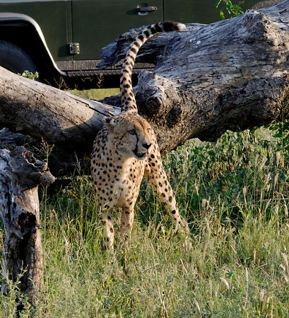 Cheetah being approached by a rhino