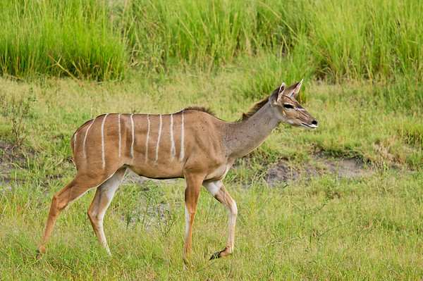 female Kudu, Chobe National Park, Botswana, GPS appx