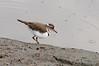 3 Banded Plover, Chobe National Park, Botswana