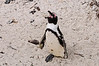 missing a foot, The Boulders, Jackass Penguins, S. Africa