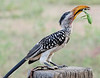 Yellow-billed Hornbill (Tockus leucomelas), mantis, GPS approx.