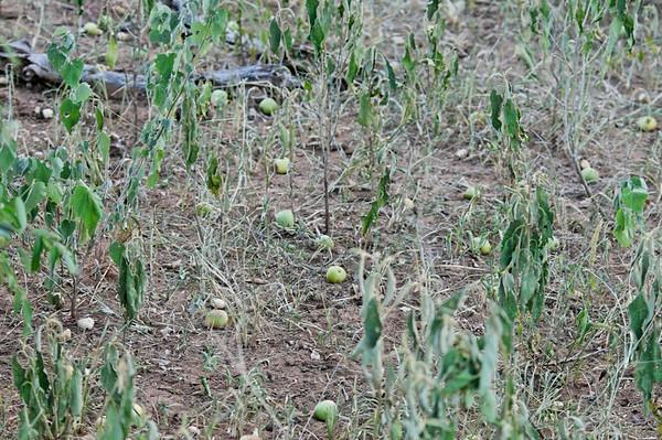 fruit of the Marula tree (used to make Amarula)