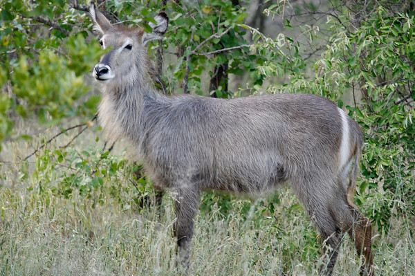 Waterbuck, GPS approx.
