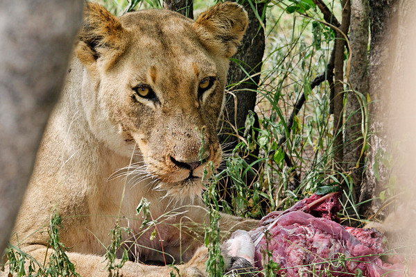 3rd lioness on the kill, Thornybush, S. Africa