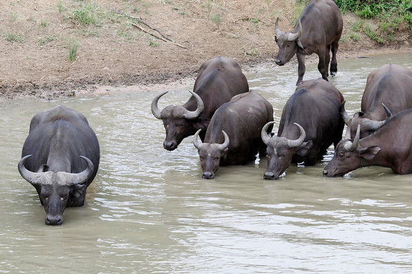 Cape Buffalo, Thornybush, S. Africa
