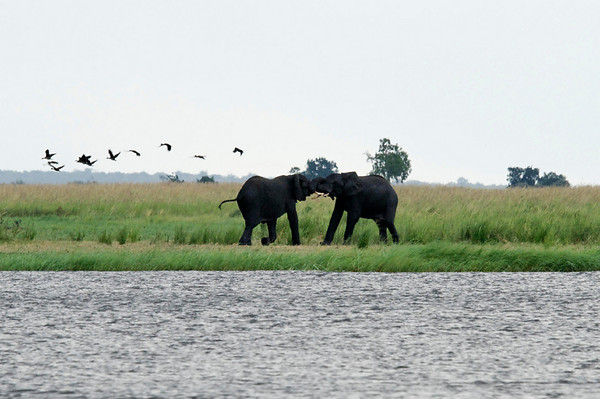 Elephants, Chobe river cruise, Botswana