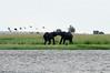 Elephants, Chobe river cruise, Botswana