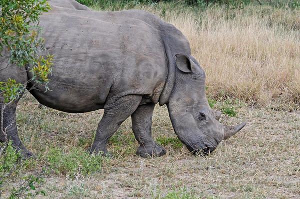 White Rhino, Thornybush, S. Africa, GPS appx